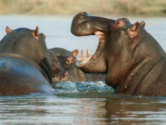 zwei Nilpferde, Afrika