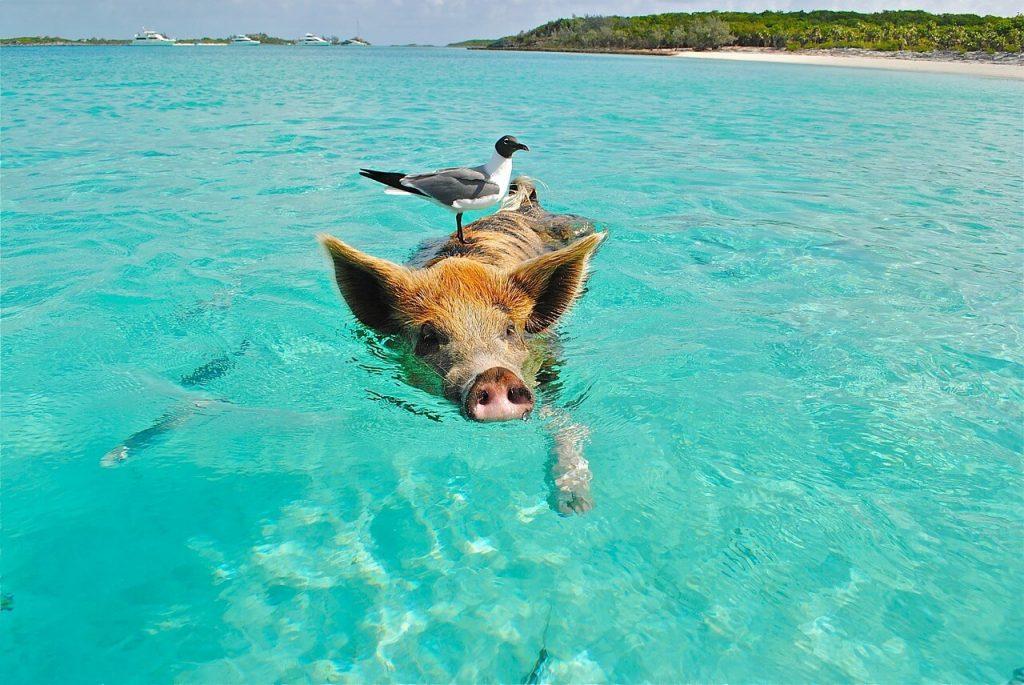 Schweine am Pig Beach, Bahamas